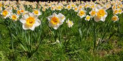 wide sea of daffodils - stock photo