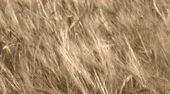 Field of barley, close up Stock Footage