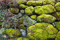 moss succulent rock wall - stock photo