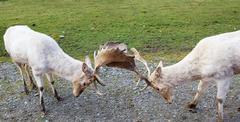 Two arguing fallow deer Stock Photos