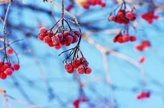 A tree blooming with Rowan berries in the fall, shallow focus Stock Photos