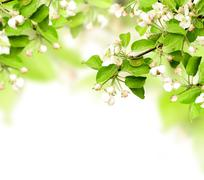 Stock Photo of Flowers of apple