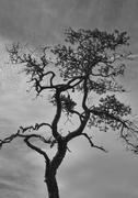Stunted pine Stock Photos