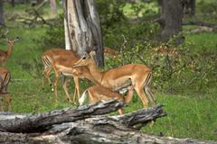 Group of Springboks - stock photo