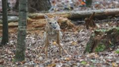 Whitetail Deer Baby Stock Footage