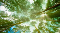 Tops of tall pine trees in the forest. looking up to the canopy Stock Footage