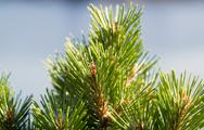 Young pine tree tops with blurred out blue ocean in background Stock Photos
