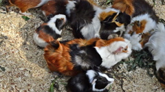 A Group of Adult and Baby Guinea Pigs at Feeding Time Stock Footage
