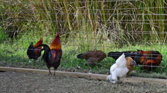 Hens Peck the Ground for Food While A Rooster Displays to Them Stock Footage