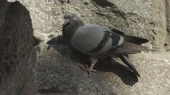 The pigeon sit on the vertical wall stone. Original funny shot Stock Footage