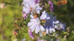 Chicory, sage Stock Footage