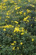 yellow chrysanthemums - stock photo