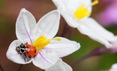 lady bug potato vine flower - stock photo