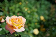 yellow red rose - stock photo