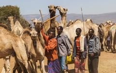 Babile. ethiopia - december 23, 2013: camels for sale at one of the largest l Stock Photos