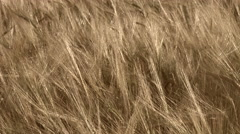 Field of barley, dolly close up Stock Footage