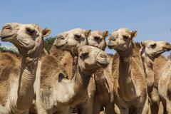 Stock Photo of camels for sale at livestock market. babile. ethiopea.