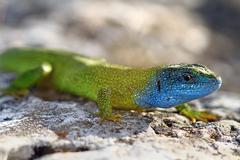 Close-up of lacerta viridis male ( european green lizard ) in mating season Stock Photos