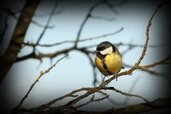 Great tit ( parus major ) standing alone on a branch in a cold winter day Stock Photos