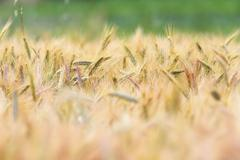 Wheat field ready for harvesting  in summer, selective focus Kuvituskuvat