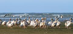 Great pelican colony standing on sahalin island, at meleaua wildlife reserve, Stock Photos