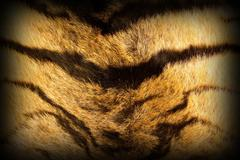 Stock Photo of detail on tiger stripes , textured fur with vignette
