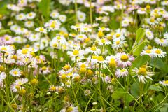 Many colors of daisies Stock Photos