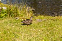 Mallard duck an example of wildlife in lake District National Park England uk Stock Photos