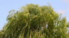 Willow tree in strong wind - stock footage