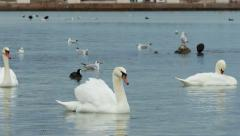 White swans floating on the water Stock Footage