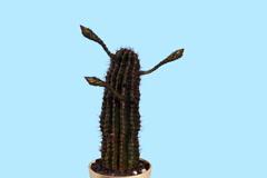 4K. Time-lapse avaaminen valkoinen Echinopsis nuput sininen näyttö, Ultra HD Arkistovideo