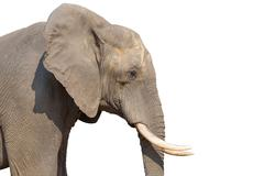 Elephant on white Stock Photos