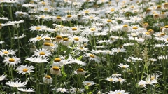 The small white daisies breeze blowing Stock Footage