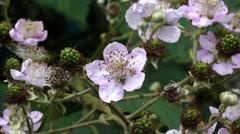Bramble Flowers - British Blackberry Wildflower Stock Footage