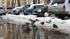 Crowd of dirty pigeons washes in puddle near car parking Stock Footage