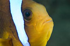 Head-shot of a red sea anemonefish (amphiprion bicinctus). Stock Photos