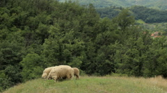 Flock of sheep graze on pasture. forests around the pasture Stock Footage