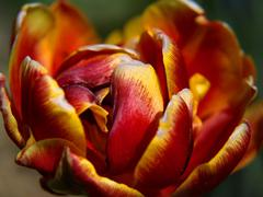 Extreme close-up on center part of blossoming tulip  Stock Photos