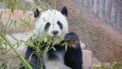 Adult bamboo bear - panda busy eating Stock Footage