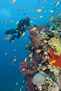Diver approaching tropical colorful coral reef. Stock Photos