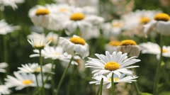 The breeze blows the white daisies close-up Stock Footage