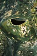 detail of a fluted giant clam's colourful mantle (tridacna squamosa). - stock photo