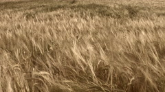 Field of barley, wide angle dolly shot Stock Footage