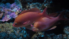 Red fishes in aquarium - stock footage