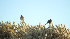 Two birds perched upon a cactus Stock Footage