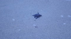 Baby turtle making its way to the ocean Stock Footage