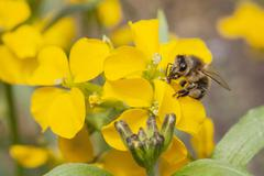 bee on yellow flower of rue - stock photo