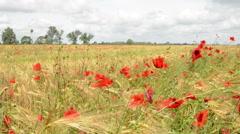 Wind in Poppy field Stock Footage