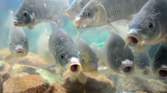 Carp fish closeup in water, environment diversity. Stock Footage