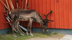 Reindeer grazing near a familyfamily Stock Footage